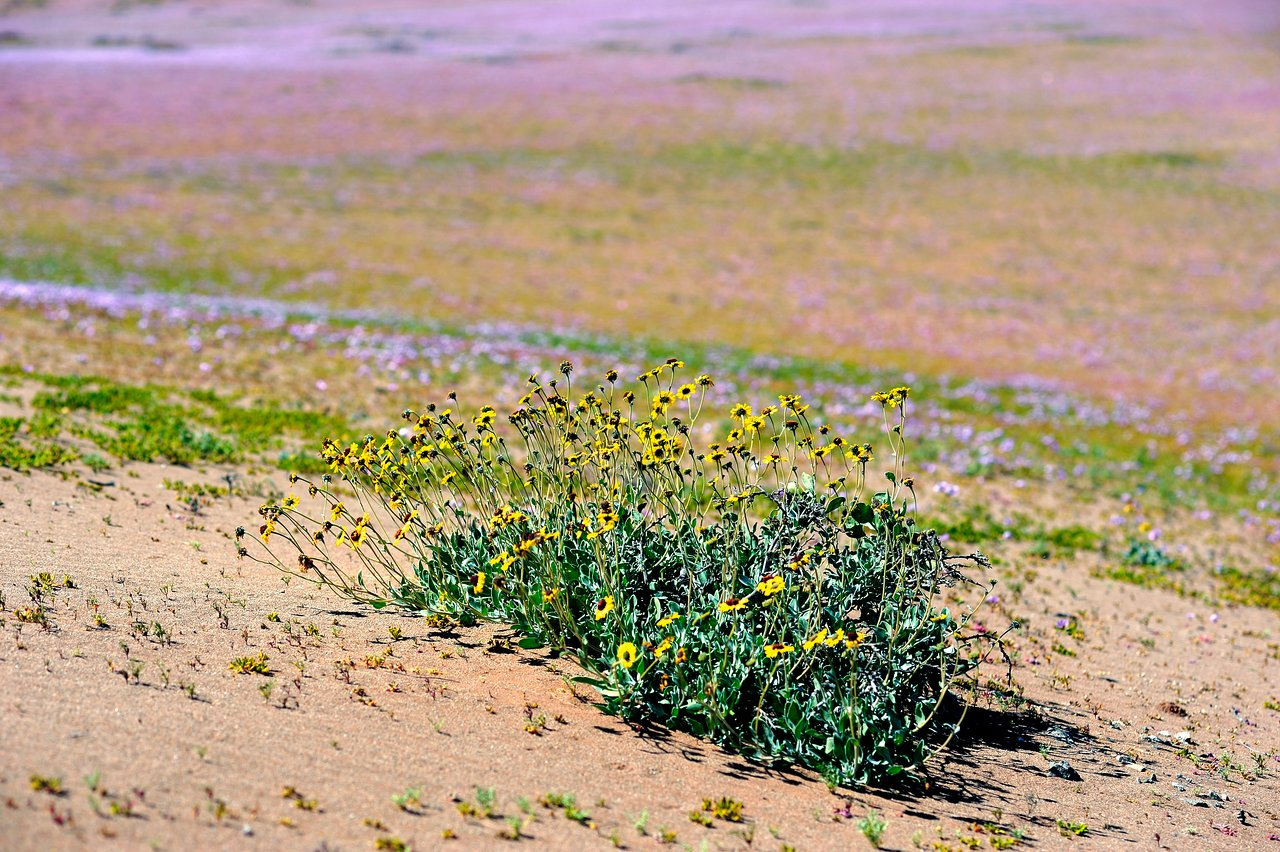 Wild flowers in the Atacama Desert