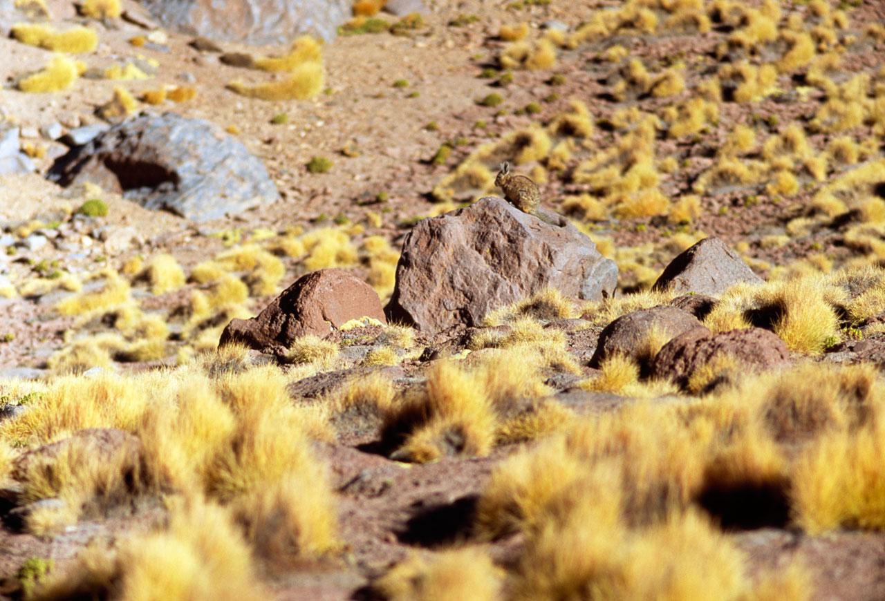 Vizcacha in the Desert