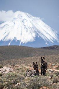 Desert donkeys
