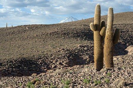 Cacti atop the Chajnantor Plateau