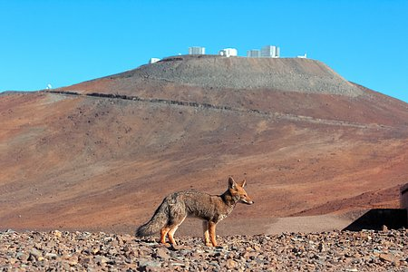 Wild Visitor to Paranal