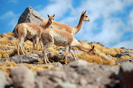 A family of vicuñas