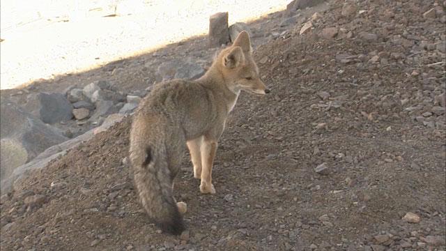 VLT Fox A