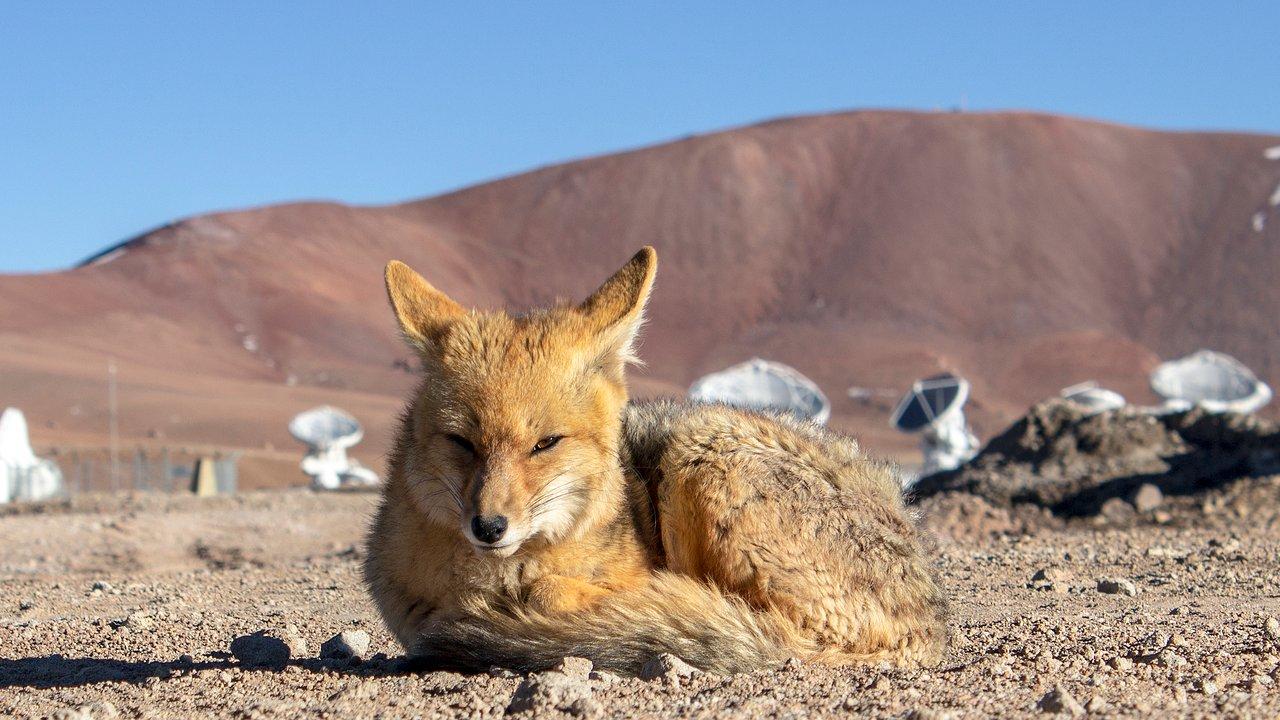Fox at ALMA site