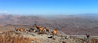 Guanacos enjoying a vista