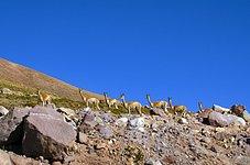 Fauna in Chile