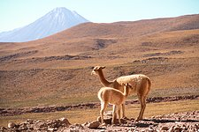 APEX Image Calendar, November 2010 — Vicuñas and Licancabur