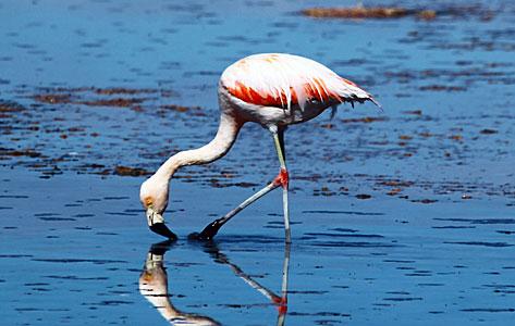 Flamingo in the Desert