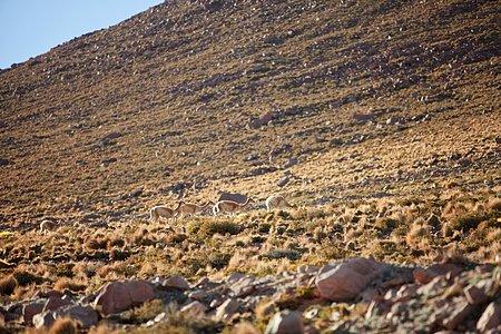 Vicuñas at ALMA