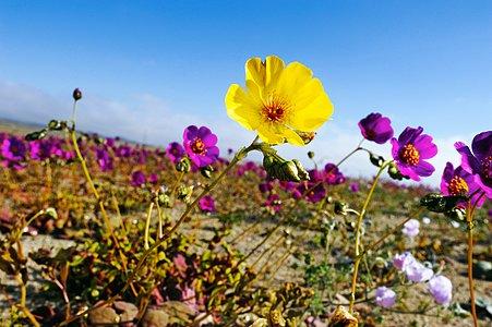 The Atacama Desert in bloom