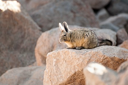 A viscacha basks in the sunshine