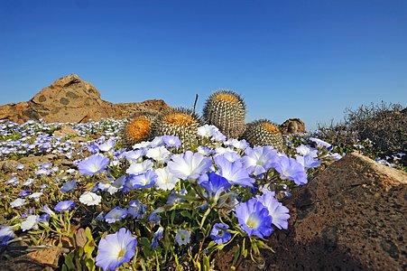 Atacama Desert in bloom