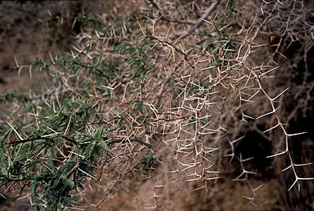 Tamarugo Thorns