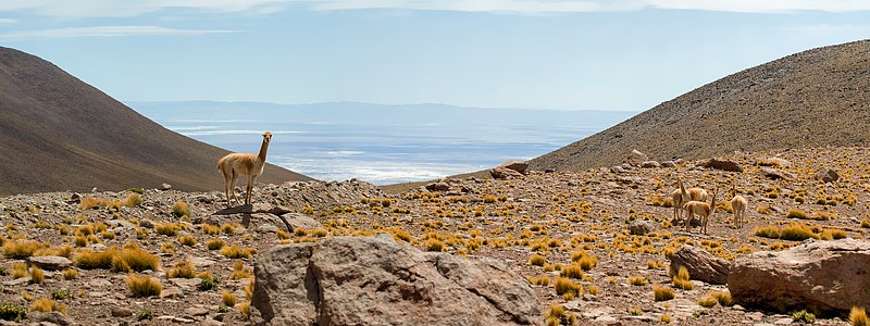 Vicuñas and ALMA