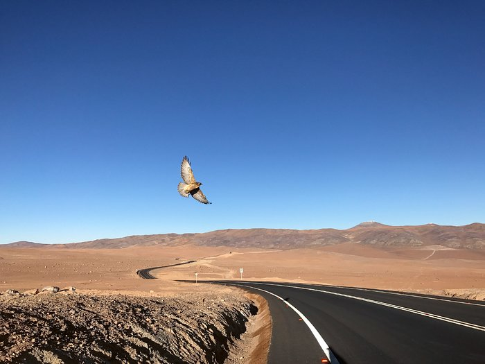 Bird soars above desert road