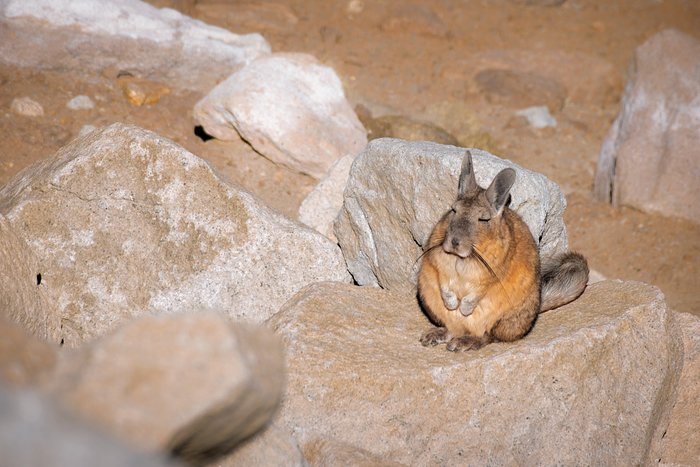 Visit from a viscacha