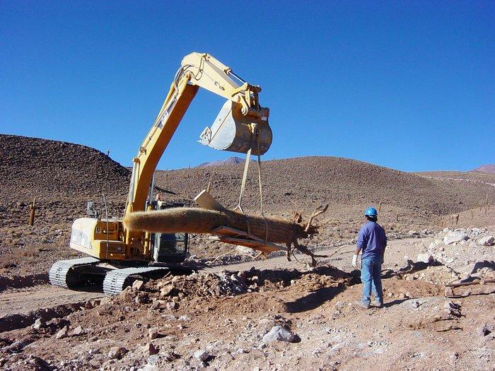 Transplanting Giant Cacti