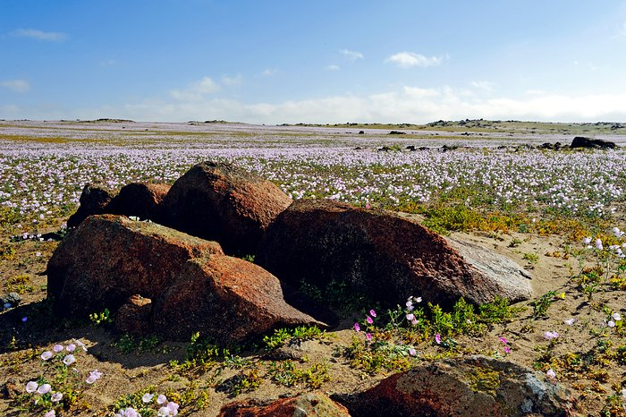 The Atacama Desert in bloom