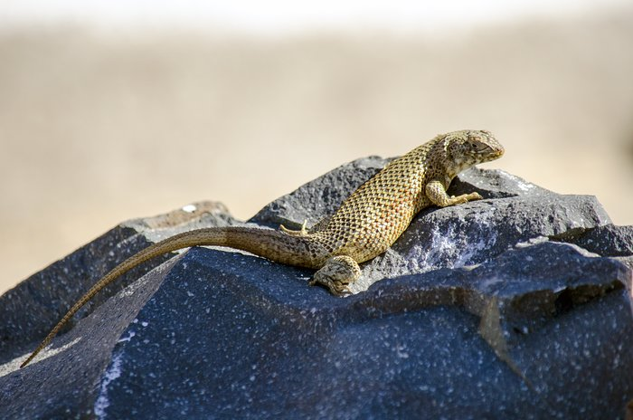 Lizard in the Atacama