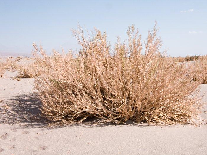Atacama plants