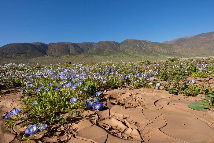 Flowers in the Atacama desert