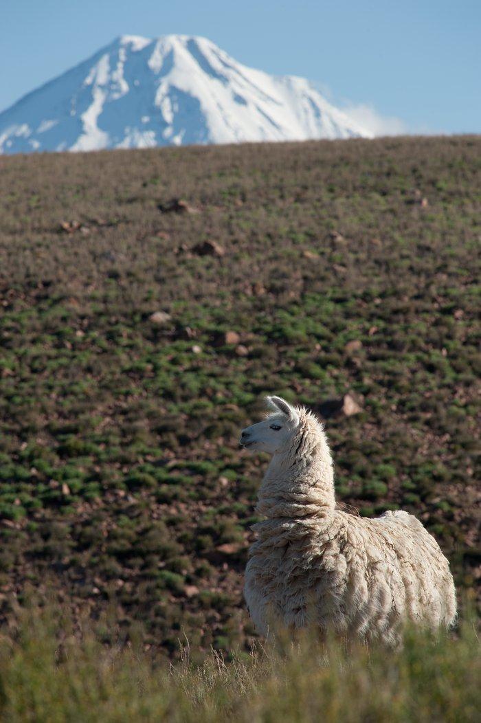 Licancabur volcano and a llama