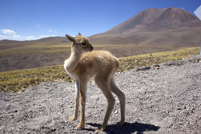 ALMA Workers Rescue Abandoned Vicuña Fawn