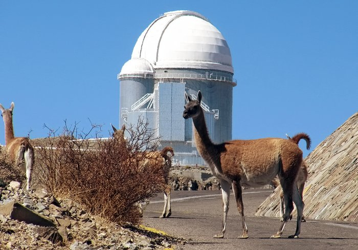 The Guanacos of Atacama