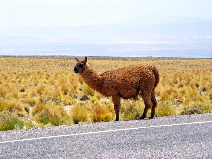 Lama in the ALMA area