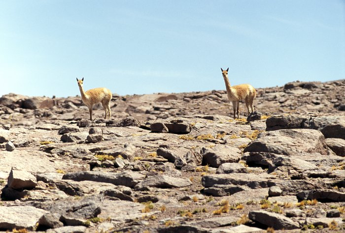 Vicuñas in the desert