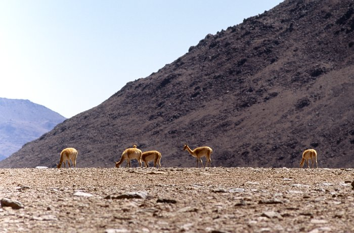 Grazing Vicunas